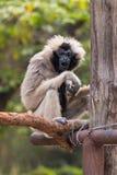 Kvinnlign pileated gibbon har engrå färger färgad päls Fotografering för Bildbyråer