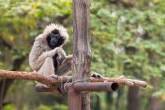 Kvinnlign pileated gibbon har engrå färger färgad päls Royaltyfri Bild