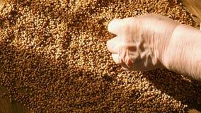 Kvinnlign räcker att välja bästa bovete för att laga mat, rörande korn för handen som är sunt bantar, stänger sig upp lager videofilmer