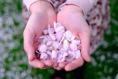 Kvinnlign räcker hållande körsbärsröda blomningar Royaltyfri Bild