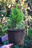 Kvinnlign räcker hållande, och plantera cypressen, rotar thujaen med (Thu royaltyfri bild