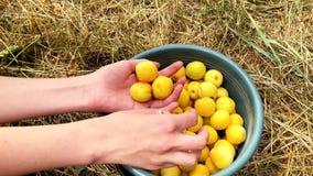 Kvinnlign räcker kontroll av mogna aprikors från en hink Ultrarapid 4k lager videofilmer
