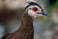 KvinnligPalawan påfågel-fasan Polyplectron napoleonis, nicet royaltyfria bilder