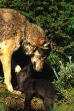 kvinnligpupwolf Arkivbilder