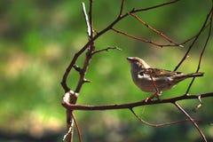 kvinnligsparrow Arkivbilder