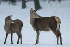 Kvinnligt anseende för röda hjortar med kalven i den vinterskogen och blicken Arkivfoto