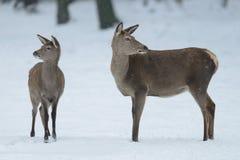Kvinnligt anseende för röda hjortar med kalven i vintern Arkivbild