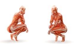 Kvinnligt diagram genomkörare som för muskelanatomi isoleras Sjukvården kondition, dans, bantar och sportbegrepp illustration 3d vektor illustrationer