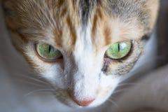Kvinnligt fotografi för kattframsidamakro, slut upp, detaljer av en katt royaltyfria foton