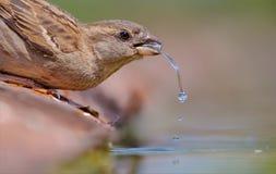 Kvinnligt gråsparvdricksvatten royaltyfri foto