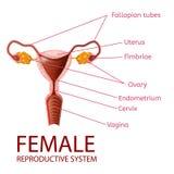 Kvinnligt gynekologiskt baner för reproduktivt system stock illustrationer