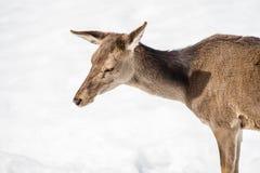 Kvinnligt head och skuldror för hjortar som isoleras på vit snö Royaltyfri Foto