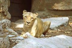 Kvinnligt lejon överst av ett vaggabildande Arkivfoton