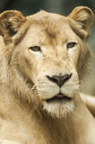 Kvinnligt lejon Royaltyfria Foton