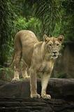 Kvinnligt lejon Royaltyfri Fotografi