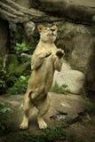 Kvinnligt lejon Arkivfoton