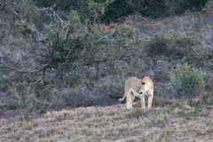 Kvinnligt lejon i Aldo Elephant National Park arkivfoton
