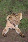 Kvinnligt lejon i blod, når att ha jagat den lösa farliga däggdjurafrica savannahen Kenya royaltyfri bild