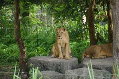 Kvinnligt lejon i Chiangmai nattsafari royaltyfria bilder