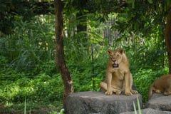 Kvinnligt lejon i Chiangmai nattsafari royaltyfri foto