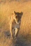 Kvinnligt lejon i masaien Mara Arkivfoto