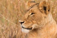 Kvinnligt lejon i masaien Mara Royaltyfri Foto