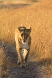 Kvinnligt lejon i masaien Mara Fotografering för Bildbyråer