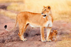 Kvinnligt lejon med gröngölingar i masaien Mara Fotografering för Bildbyråer