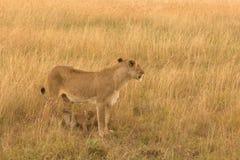 Kvinnligt lejon med gröngölingar i masaien Mara Royaltyfri Foto