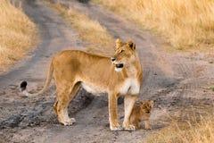 Kvinnligt lejon med gröngölingar i masaien Mara Arkivfoto