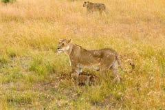Kvinnligt lejon med gröngölingar i masaien Mara Royaltyfri Fotografi
