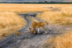 Kvinnligt lejon med gröngölingar i masaien Mara Royaltyfri Bild