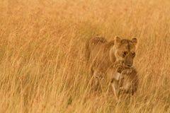 Kvinnligt lejon med gröngölingen i masaien Mara, Kenya Royaltyfri Bild