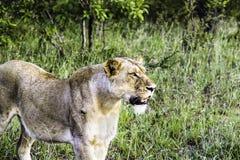 Kvinnligt lejon på den Kruger nationalparken arkivbilder