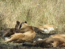 Kvinnligt lejon som bär spåra radiokragen i den Serengeti nationalparken fotografering för bildbyråer
