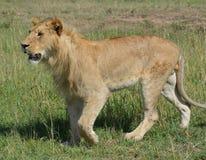 Kvinnligt lejon som går på slättarna Arkivfoton