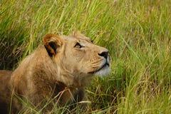 Kvinnligt lejon som lägger gräs och ser upp Arkivfoto