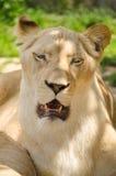 Kvinnligt lejon som vilar på gräset royaltyfri bild