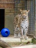 Kvinnligt leopardanseende i buren Royaltyfria Bilder
