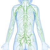 Kvinnligt lymfatiskt system av den halva kroppen stock illustrationer