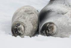 Kvinnligt och behandla som ett barn Weddell förseglar att ligga i snowen. Arkivfoto