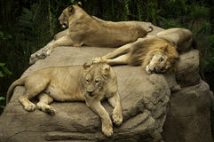 Kvinnligt och manligt lejon Royaltyfria Foton