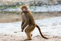 Kvinnligt posera för babian Arkivfoton