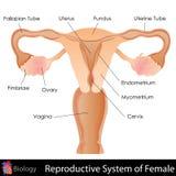 Kvinnligt reproduktivt system Arkivbild