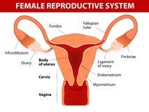 Kvinnligt reproduktivt system Arkivfoto