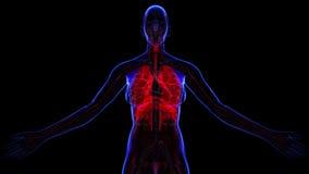 Kvinnligt respiratoriskt system royaltyfri illustrationer