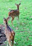 Kvinnligt söka efter för deers som är hans, behandla som ett barn i ängen royaltyfri bild