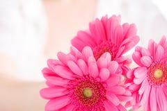Kvinnligt sjukvårdbegrepp, gerbera för floower för handhåll rosa Fotografering för Bildbyråer