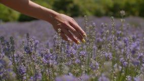 Kvinnligt tycka om för turist går i lavendelfält stock video