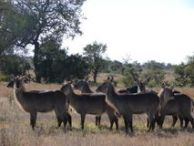 Waterbuck flock Royaltyfria Bilder